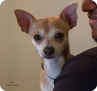 Chihuahua Dog for adoption in Baton Rouge, Louisiana - Roux (formerly Jack)