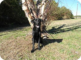 Labrador Retriever Mix Dog for adoption in Tyner, North Carolina - Gizmo