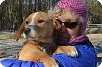 Labrador Retriever/Hound (Unknown Type) Mix Puppy for adoption in Marlton, New Jersey - Jordan