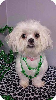 Shih Tzu/Maltese Mix Dog for adoption in Urbana, Ohio - Winter