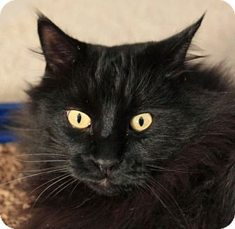 Maine Coon Cat for adoption in Oakland, California - Butters