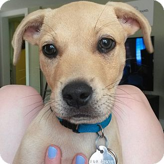 Labrador Retriever/Terrier (Unknown Type, Small) Mix Puppy for adoption in Redding, Connecticut - Peanut