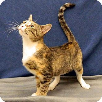Calico Cat for adoption in McCormick, South Carolina - Louise