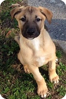 Shepherd (Unknown Type) Mix Puppy for adoption in Hayes, Virginia - Chubbs