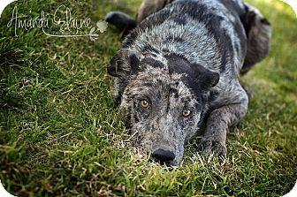 Catahoula Leopard Dog Mix Dog for adoption in Pilot Point, Texas - HATTIE