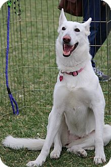 German Shepherd Dog Dog for adoption in Henderson, Nevada - Bianca
