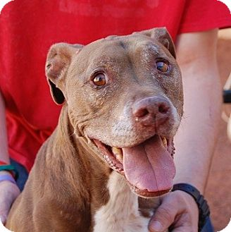 American Staffordshire Terrier Mix Dog for adoption in Las Vegas, Nevada - Emily