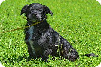 Schnauzer (Standard)/Terrier (Unknown Type, Medium) Mix Dog for adoption in Lebanon, Missouri - Remy