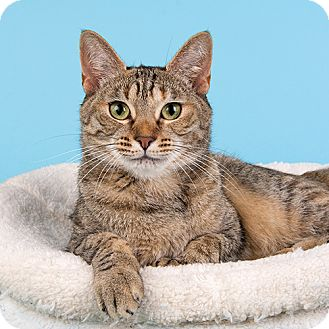 Domestic Shorthair Cat for adoption in Wilmington, Delaware - Julie