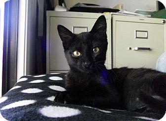 Domestic Shorthair Kitten for adoption in St Helena, California - Pinkie Purr
