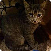 Domestic Shorthair Cat for adoption in Glendale, Arizona - Jazzy