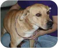 Labrador Retriever/Retriever (Unknown Type) Mix Dog for adoption in Salem, New Hampshire - Wizard