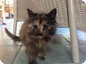Domestic Mediumhair Kitten for adoption in Swansea, Massachusetts - Lily