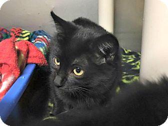 Domestic Shorthair Kitten for adoption in Flint, Michigan - Maria
