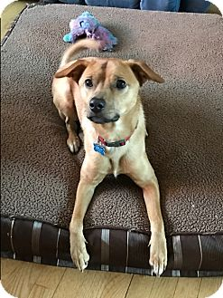 Shepherd (Unknown Type) Mix Dog for adoption in Middlesex, New Jersey - Hank