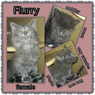 Russian Blue Kitten for adoption in Richmond, California - Flurry