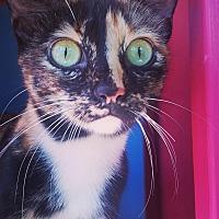 Calico Cat for adoption in Ocala, Florida - CALI