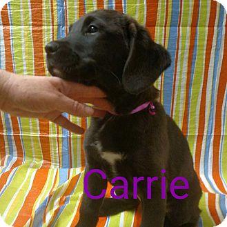 Labrador Retriever Mix Puppy for adoption in Garden City, Michigan - Carrie