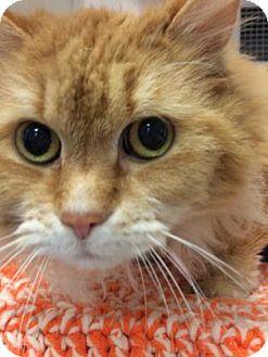 Domestic Mediumhair Cat for adoption in Cumming, Georgia - Tanga