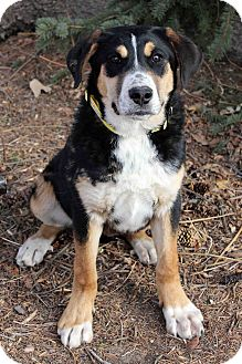 Bernese Mountain Dog Mix Dog for adoption in Westminster, Colorado - Sandy