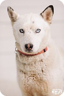 Siberian Husky Mix Dog for adoption in Portland, Oregon - otis