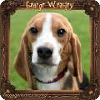 Beagle Dog for adoption in South Plainfield, New Jersey - George Weasley