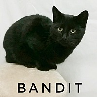 Domestic Shorthair Cat for adoption in Kendallville, Indiana - Bandit