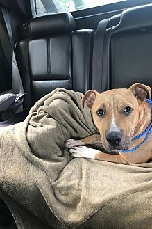 American Staffordshire Terrier/Pit Bull Terrier Mix Dog for adoption in Villa Park, Illinois - Benji