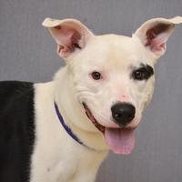 Adopt A Pet :: Jedi - Hamilton, OH