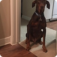 Adopt A Pet :: Daniel - Houston, TX