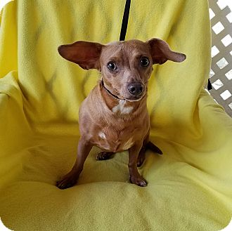 Dachshund/Chihuahua Mix Dog for adoption in Jersey City, New Jersey - Kitty