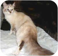 Ragdoll Cat for adoption in Dallas, Texas - Lady Godiva