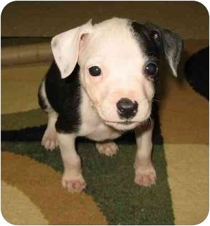 Pit Bull Terrier Mix Puppy for adoption in Fenton, Missouri - Daisy
