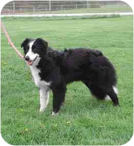 Border Collie Dog for adoption in Tiffin, Ohio - Maddie