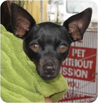 Chihuahua Mix Dog for adoption in Spring Valley, California - Diamond