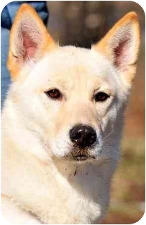 Husky Mix Dog for adoption in Pawling, New York - SHELBY