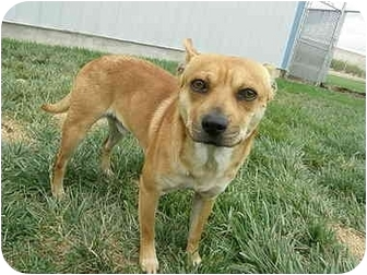 Shiba Inu Mix Dog for adoption in Meridian, Idaho - Alto