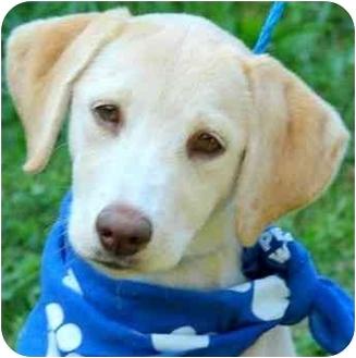 Labrador Retriever Puppy for adoption in Pawling, New York - MOLLY
