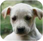Labrador Retriever/Shepherd (Unknown Type) Mix Puppy for adoption in Foster, Rhode Island - Glacier