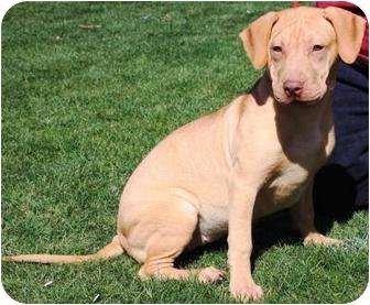 Shar Pei/American Pit Bull Terrier Mix Puppy for adoption in Gilbert, Arizona - Maple