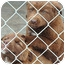 Photo 3 - Chesapeake Bay Retriever/Akita Mix Puppy for adoption in Ripley, Tennessee - Chessy Babies