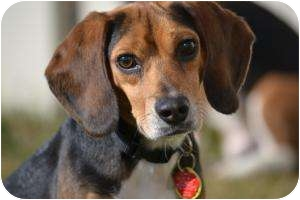 Beagle Dog for adoption in Yardley, Pennsylvania - Scooter