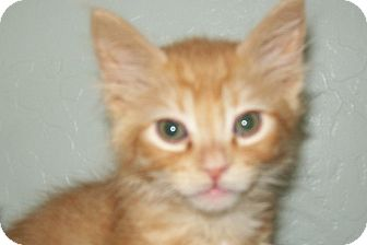 Domestic Shorthair Kitten for adoption in Grants Pass, Oregon - Price