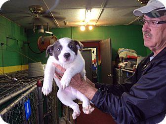 Australian Shepherd Mix Puppy for adoption in BLACKWELL, Oklahoma - Hoss