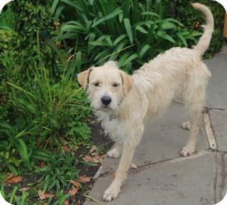 Fox Terrier (Wirehaired)/Schnauzer (Standard) Mix Dog for adoption in Norwalk, Connecticut - Mervyn -adoption pending