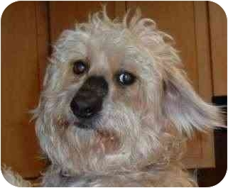 Poodle (Miniature) Mix Dog for adoption in Elmwood, Tennessee - Sandy-PENDING