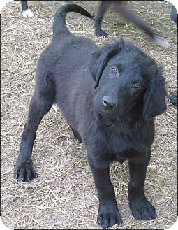 Labrador Retriever/Border Collie Mix Puppy for adoption in Somers, Connecticut - William