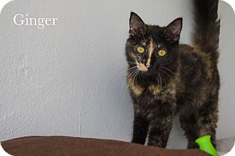 Domestic Mediumhair Cat for adoption in Vancouver, British Columbia - Ginger