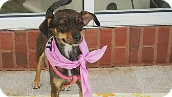 Terrier (Unknown Type, Small) Mix Dog for adoption in Lawrenceville, Georgia - Gracie