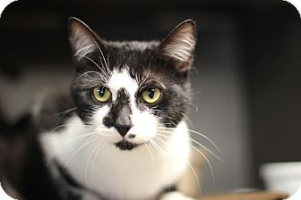 Domestic Shorthair Cat for adoption in Midland, Michigan - Sly - STRAY